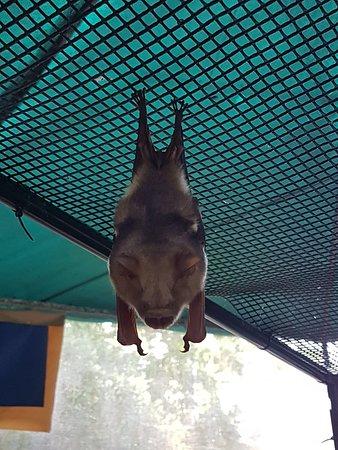Atherton, ออสเตรเลีย: Such a cute bat!