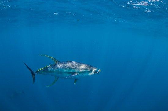 Cape Town, Sudáfrica: Yellowfin tuna