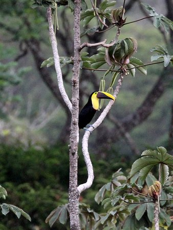 Colonia Virgen del Socorro, Costa Rica: Black mandibled toucan