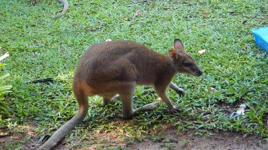 Wongaling Beach, Австралия: Wallaby visit