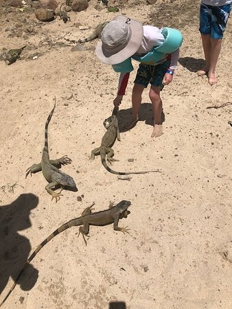Oyster Pond, St Marteen/St. Martin : My 4 year old feeling the Iguanas