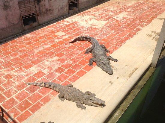 20 Foot Crocodile