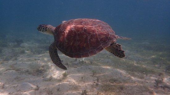 Saint George Parish, Antigua: Hawks bill turtle