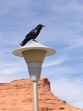 Wahweap RV & Campground: Crazy large and super smart Raven.