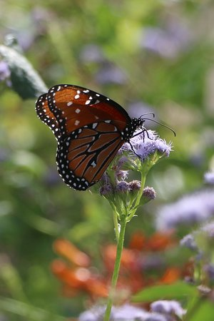 South Texas Botanical Gardens U0026 Nature Center: Butterfly Garden