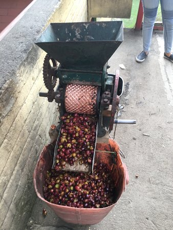 Traditional Coffee Tour With Tasting in Salento: processing beans we picked
