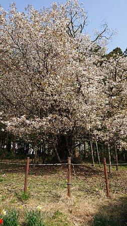 Ibaraki-machi, Япония: 大戸の桜