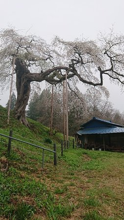 Daigo-machi, Japan: 外大野のしだれ桜