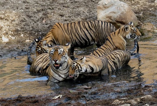 The Tiger Tours: Tigers