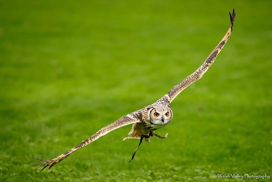 Flying display at Chester Cathedral Falconry & Nature Gardens
