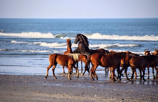 Corolla, NC: 2 stallions fighting over the mares!