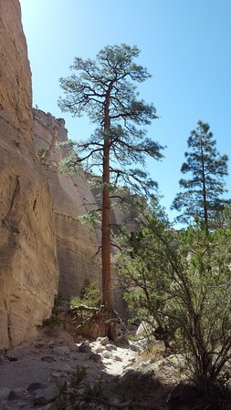 One of the Huge Trees towards the beginning of the trail to the top of the Mesa