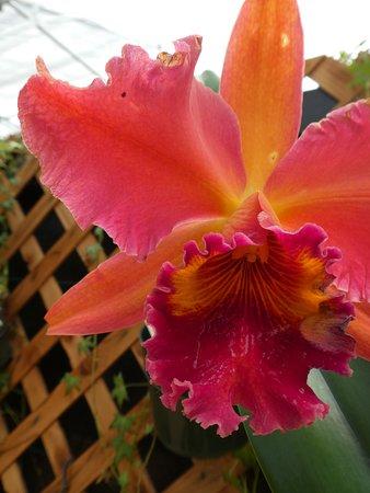 Keaau, HI: Orchids
