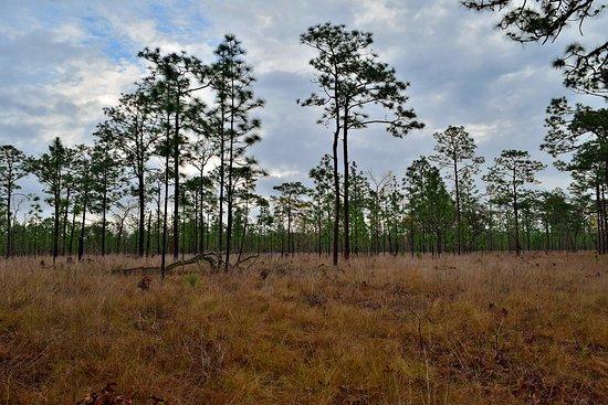 Bristol, FL: Pine Savanna