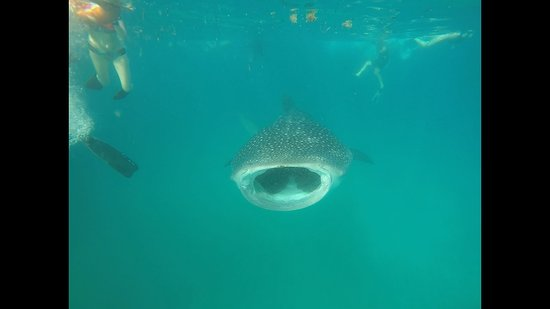 Afro Whale Shark Safari: This huge guy hung around for a while opening and closing his mouth. Amazing!