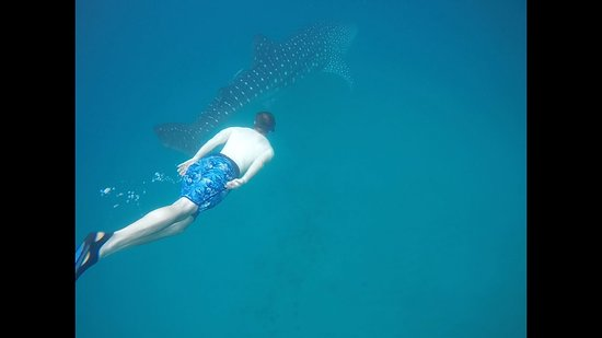 Afro Whale Shark Safari: That's me swimming along with a whale shark!