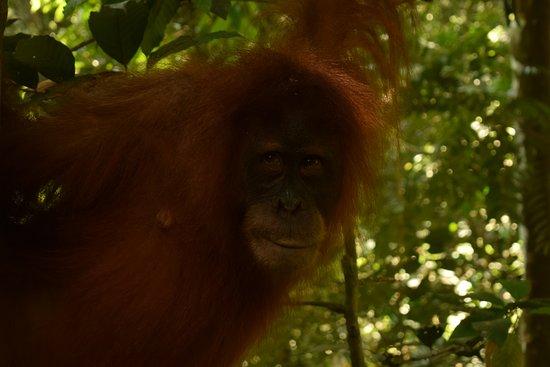 Bukit Lawang Guide: Female Orangutan