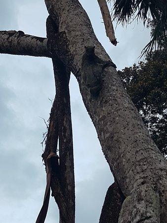 Coral View Island Resort: Зверек когуан на территории отеля