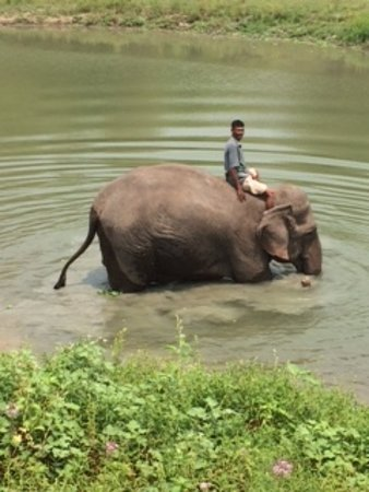 Assam, India: Elephant with Mahout getting ready for a bath