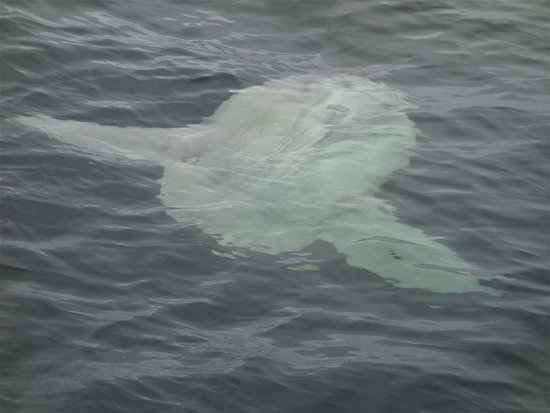 Monterey Bay Whale Watch Tour: A Sunfish right of the nose of the boat.
