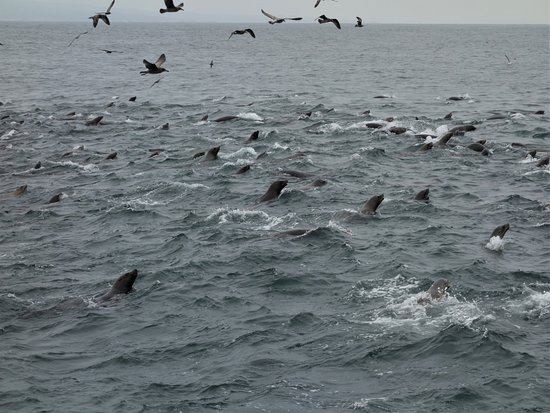 Monterey Bay Whale Watch Tour: Super group of sea lions in a feeding frenzy.