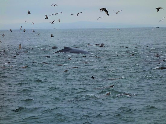 Monterey Bay Whale Watch Tour: The whales join in the feast.