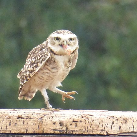 Newent, UK: Our favourite bird, the Burrowing owl, Scarp, he is such a character.
