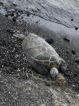 Kaloko-Honokohau National Historical Park: Sea turtle basking on the beach
