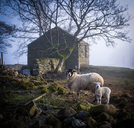 Ravenstonedale, UK: Sheep were lambing in the adjacent fields