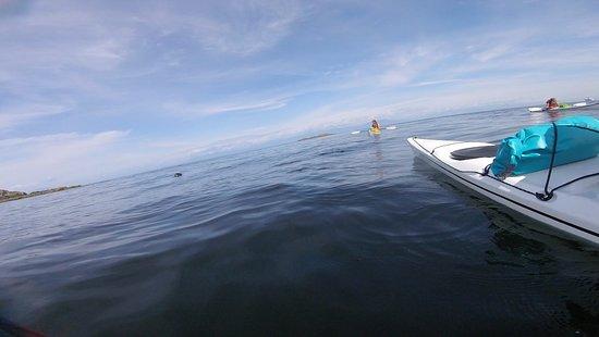 Nanoose Bay, Canadá: a few seals near Hudson's rock (Nanaimo)
