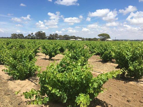 Bush vines in early summer. Rojomoma Red Art, Ebenzer, Barossa Valley