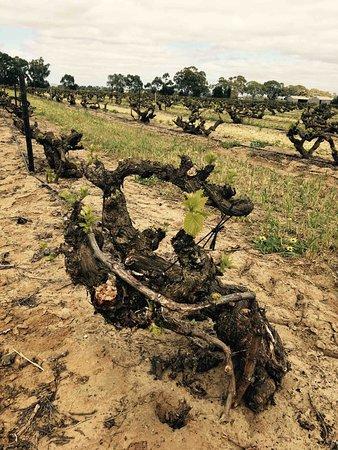 1848 Grenache vineyard, Cirillo Estate, Barossa Valley