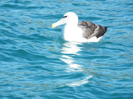 Monarch Wildlife Cruises & Tours: Albatros
