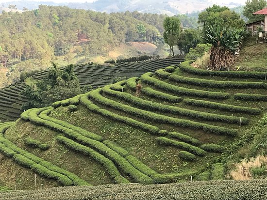 Mae Salong, Tajlandia: 101 Tea Plantation