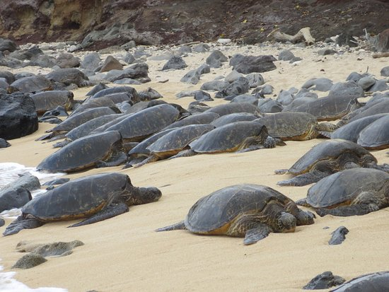Paia, HI: Green turtles resting on Ho'okipa Beach