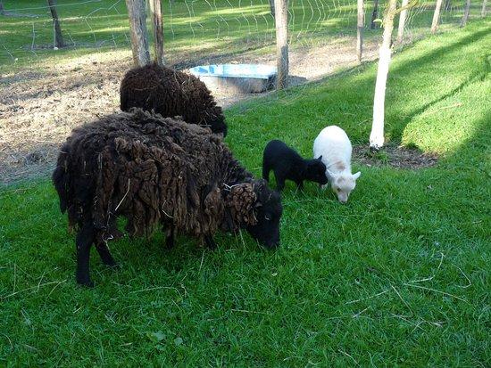 Souesmes, France : Nos petits moutons d'Ouessant