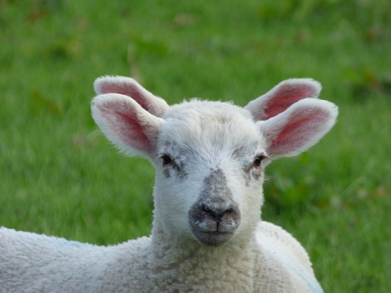 Mosedale End Farm Bed and Breakfast & Glamping Pod: 4 eared lamb (April Fools)