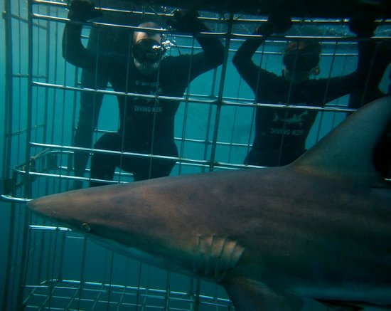 Shark Cage Diving KZN: IMG-20180414-WA0009_large.jpg