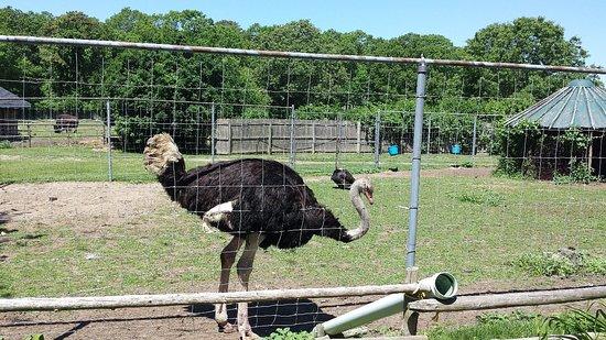 Manorville, نيويورك: Long Island Game Farm