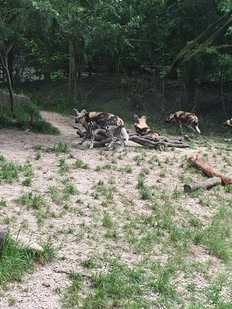Audubon Zoo: African Painted Dogs