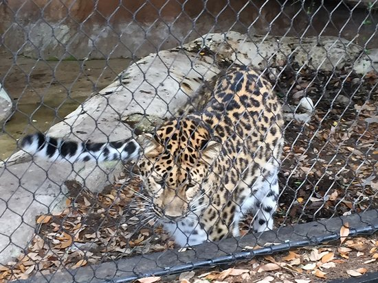 Audubon Zoo: Amur Leopard staring down a possum