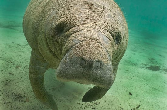 Manatee Sightseeing Eco-Tourism Tour...