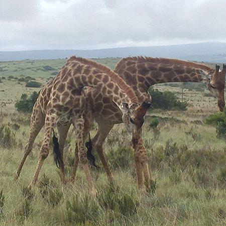 Driekoppen, Dél-Afrika: photo0.jpg