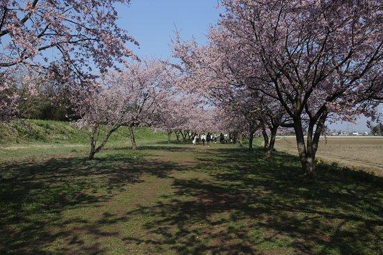 Kitaasaba Sakurazutsumi Park: 北浅羽桜堤公園:桜並木