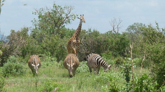 Voi, Kenya: Park.