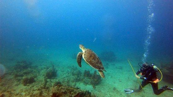 Mamora Bay Divers: A turtle!