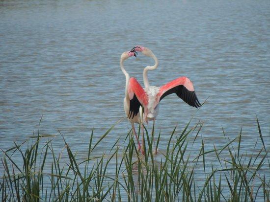 Coria del Rio, Ισπανία: Courting flamingoes