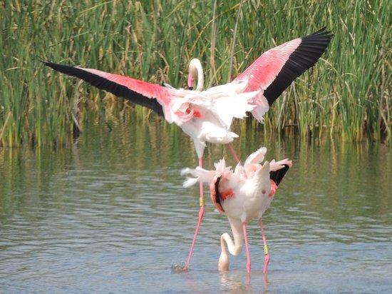 Coria del Rio, Ισπανία: Courting flamingoes II