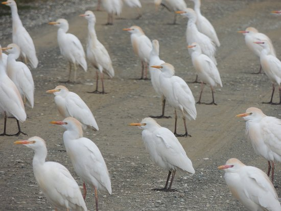Coria del Río, España: Cattle egrets blocking the road.