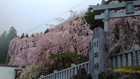 Shidarezakura of Kawai Pass